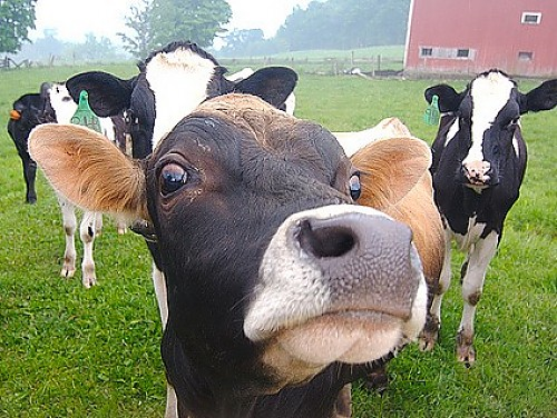 Current moood: This cow.